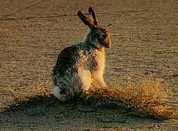 Marlboro rabbit enlarged